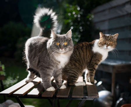 two cats standing on garden table outdoors on terrace looking at camera in sunlight begging for treats