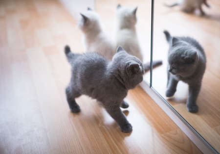 blue and cream colored british shorthair kittens playing in front of the mirror