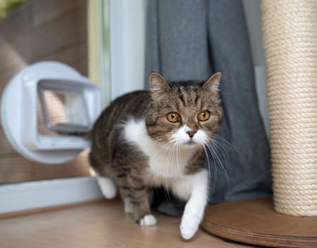 tabby white british shorthair cat entering room passing through cat flap next to scratching post looking ahead 写真素材