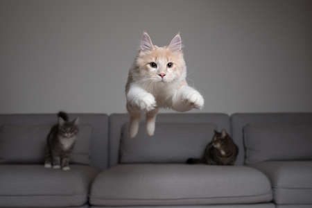 front view of a cream colored maine coon cat jumping over the couch in front of two other cats 写真素材