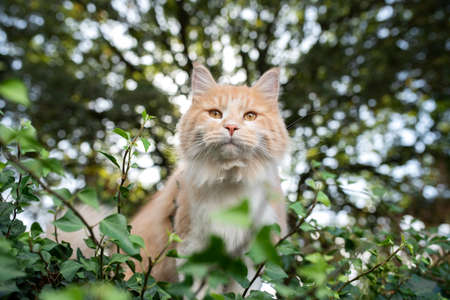 maine coon cat standing on wall covered with ivy in front of trees in a forest looking at camera 写真素材