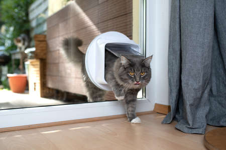 cute young blue tabby maine coon cat with white pawsentering room by passing through cat flap looking ahead curiously sticking out tongue 写真素材