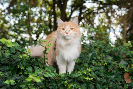young cream tabby beige white maine coon cat standing on wall covered with ivy in front of trees in a forest looking at camera