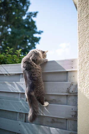 young blue tabby maine coon cat trying to climb up fence in the back yard 写真素材