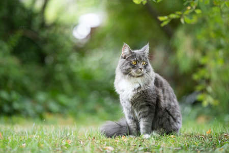 blue tabby maine coon cat sitting outdoors in nature on grass observing the garden 写真素材