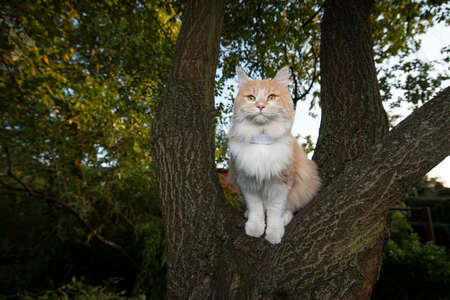 cream tabby ginger white maine coon cat standing on tree fork outdoors in nature wearing a gps tracker attached to collar