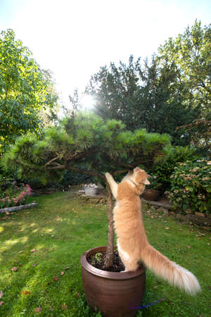 cream tabby ginger maine coon cat with fluffy tail scratching on small pine outdoors in the garden