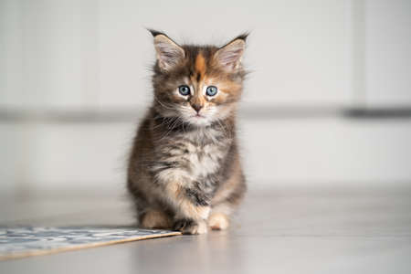 calico maine coon kitten sitting on floor with copy space