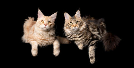 studio portrait of two different colored maine coon cats side by side looking at camera isolated on black background with copy space