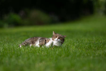 tabby white british shorthair cat lying on side on grass in the back yard relaxing looking at camera curiously with a funny facial expression