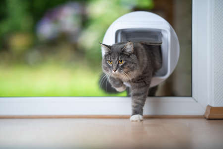 young blue tabby maine coon cat coming home from outdoors passing through cat flap in window