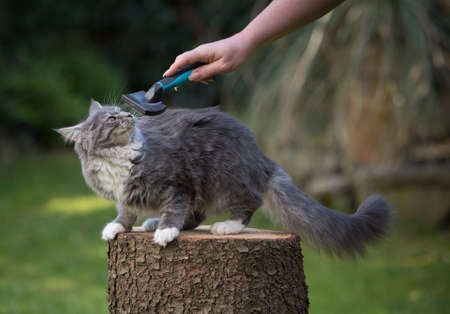 blue tabby maine coon kitten standing on a tree stump not wanting to be groomed by owner