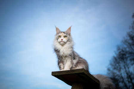 low angle view of a black torbie silver high white maine coon cat sitting on wooden plank of a cat tree outdoors