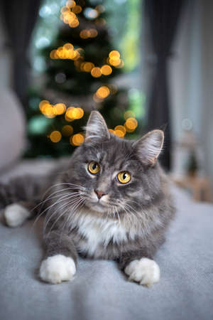cute blue tabby maine coon cat whit white paws lying on couch in front of christmas tree looking