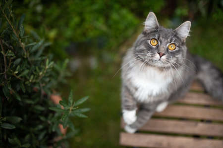 high angle view of a playful young blue tabby maine coon cat with white paws standing on garden table moving up begging looking curiously Stock Photo