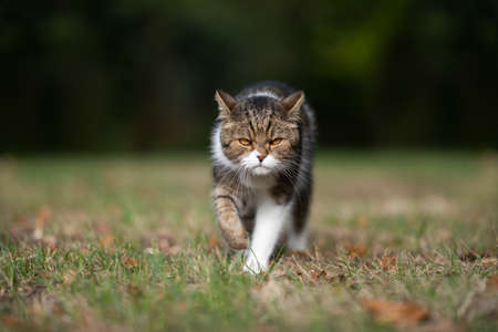 evil looking british shorthair cat walking towards camera outdoors on the prowl