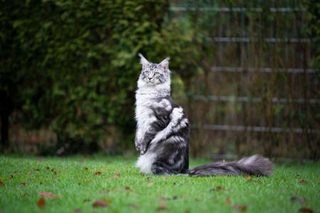 side view of a curious silver tabby maine coon cat standing on hind legs outdoors on lawn looking to the side