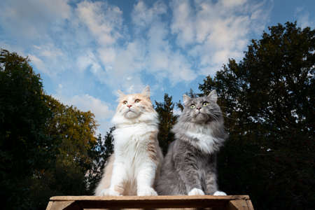 two different looking maine coon cats sitting on a wooden crate side by side outdoors in the back yard observing the area curiously