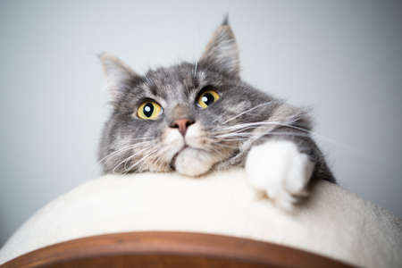 low angle view of a cute blue tabby maine coon cat relaxing on top platform of scratching post looking down