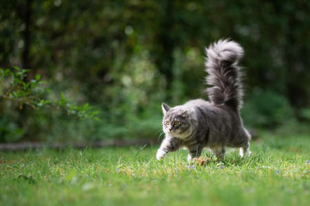 playful young blue tabby maine coon cat walking along the garden looking straight ahead