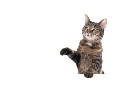 Studio shot of a tabby domestic shorthair cat isolated on white background leaning on banner with copy space begging for treats raising paw looking