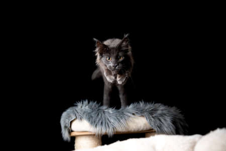 playful maine coon kitten jumping off scratching post towards camera looking ahead in front of black background with copy space