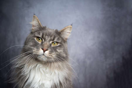 blue tabby white maine coon cat portrait with copy space