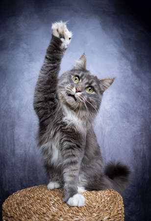 playful blue tabby maine coon cat raising one paw