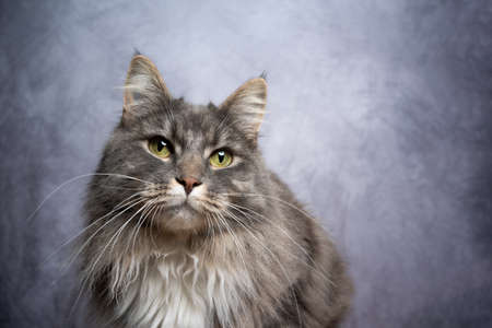 gray maine coon cat studio portrait with copy space
