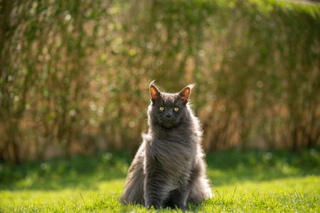 gray maine coon cat portrait sitting on grass in windy backyard with copy space Banco de Imagens