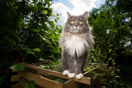 curious gray white maine coon cat standing on edge of compost heap outdoors in green garden looking at camera