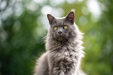blue fluffy maine coon cat outdoors portrait with green bokeh background and copy space