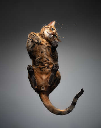 bottom view of a brown spotted tabby bengal cat resting on glass table looking at catnip or valerian root
