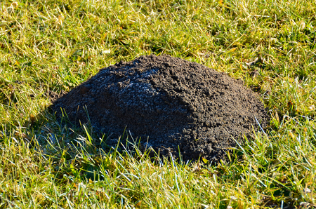 Single and unique molehill on a green feeld.