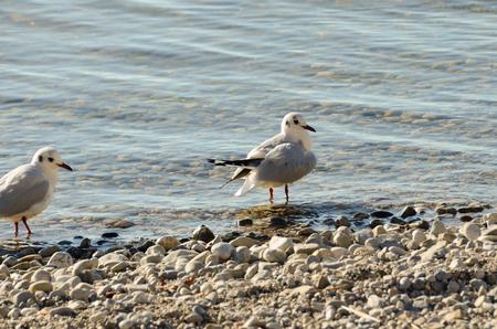 Seagulls clean up at stone beach