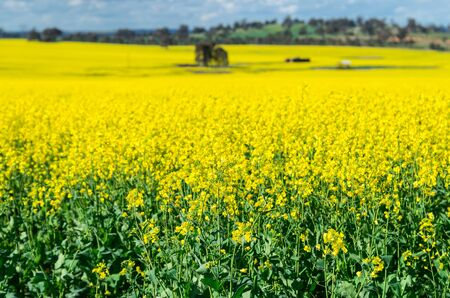 Field of golden canola crops north of Benalla in north-eastern Victoria, Australia. Focus is on foreground, background is out of focus.