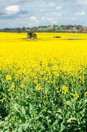 Field of golden canola crops north of Benalla in north-eastern Victoria, Australia