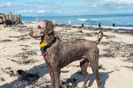 Grey standard poodle dog on a beach in Melbourne, Australia Stok Fotoğraf - 86860504