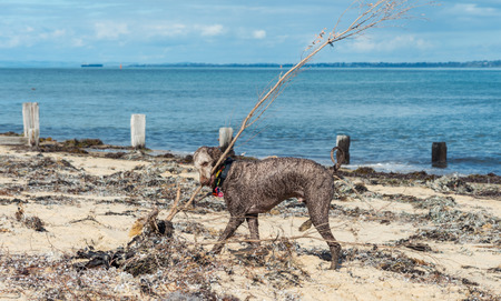 Grey standard poodle dog on a beach in Melbourne, Australia Stok Fotoğraf