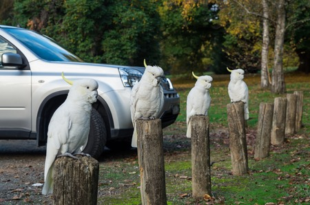 Row of cockatoos sitting on bollards in the Yarra Valley in Australia. Stock Photo