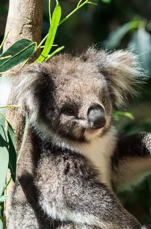 Koala, or phascolarctos cinereus, in a eucalyptus tree in the Yarra Valley, Australia