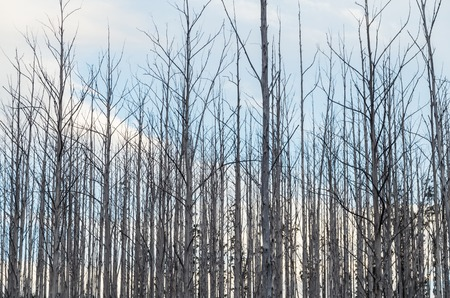 Burnt and dead trees on a hillside above Marysville in Victoria, Australia, following the 2009 bushfire.