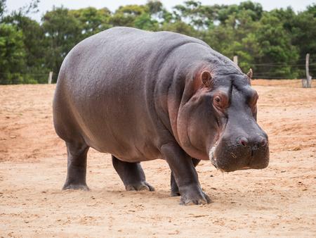 L'hippopotame commun, Hippopotamus amphibius, ou hippopotame, est un grand mammifère semi-aquatique, principalement herbivore, originaire d'Afrique subsaharienne Banque d'images