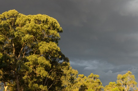 Sundrenched eucalyptus trees against a dark, moody sky in Warrandyte in outer suburban Melbourne, Australia
