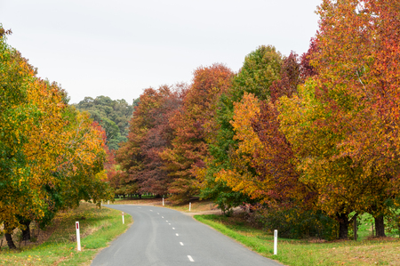 Country road flanked by autumn trees in Stanley in the Indigo Shire region of north eastern Victoria.