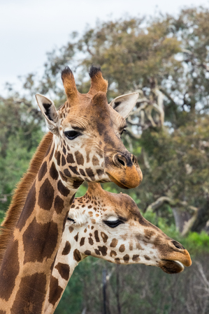 Rothschilds giraffe, Giraffa camelopardalis rothschildi, native to eastern Africa. Stok Fotoğraf