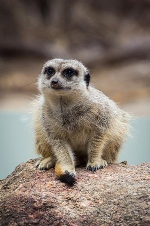 Meerkat perched on a rock. The meerkat or suricate is a small carnivoran belonging to the mongoose family. It is the only member of the genus Suricata. Reklamní fotografie