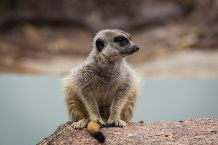 Meerkat perched on a rock. The meerkat or suricate is a small carnivoran belonging to the mongoose family. It is the only member of the genus Suricata. Stok Fotoğraf