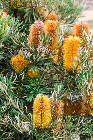 Banksia flowers, genus proteaceae, is an Australian native flower.