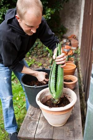 gardener repot young aloe vera plants in the garden